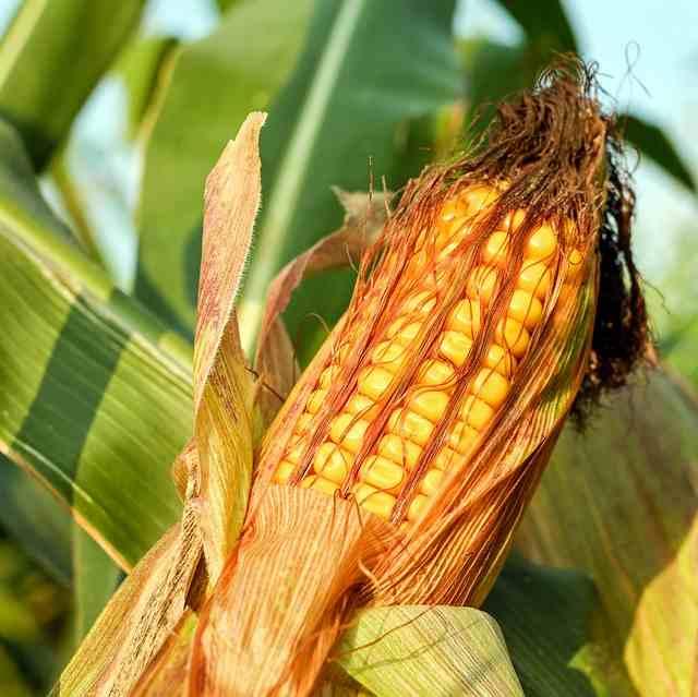 Modellprojekt: Warum ein Landwirt aus Kandern Bohnen und Mais zusammen anpflanzt